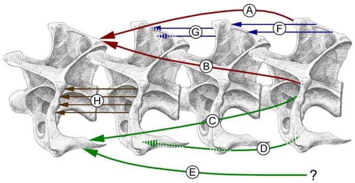 Fig. 5 from  Taylor et al. (2013) Why sauropods had long necks; and why giraffes have short necks. PeerJ 1:e36 http://dx.doi.org/10.7717/peerj.36
